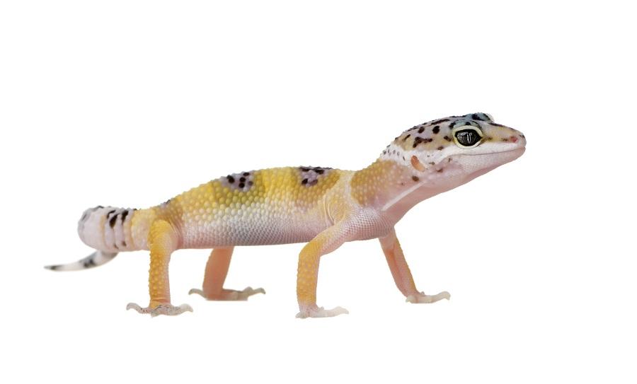 Leopard Gecko Care Gecko Care