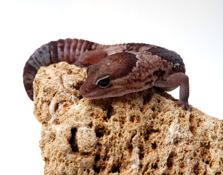 African Fat Tailed Gecko Care Sheet | Gecko Care
